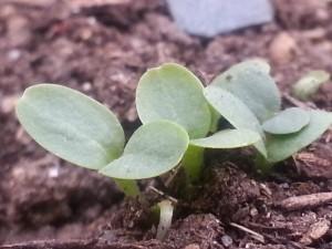 lettuce_04252013